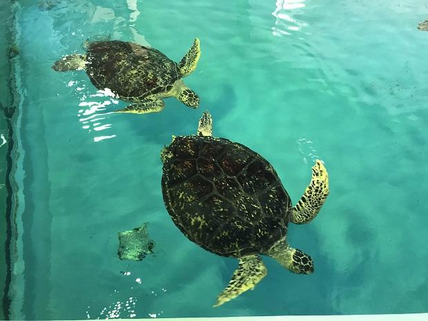 kumejima-turtule-aquarium