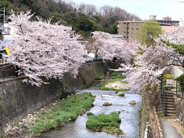 arima-hot-spring-sakura-spots-1