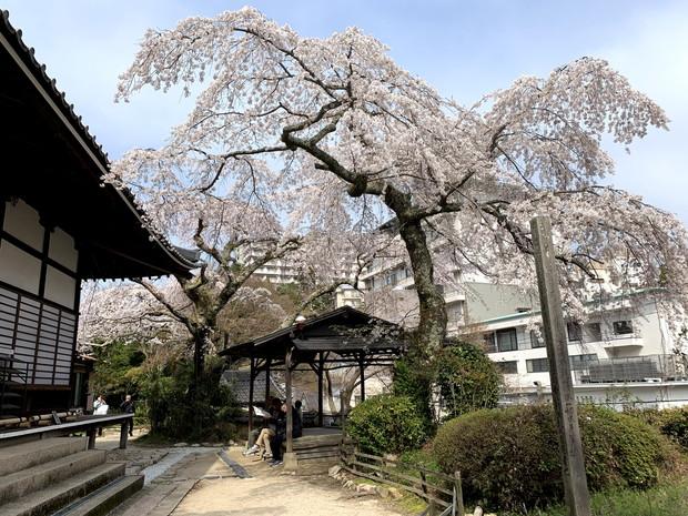 arima-hot-spring-sakura-spots-3