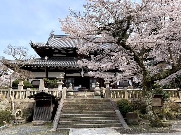 arima-hot-spring-sakura-spots