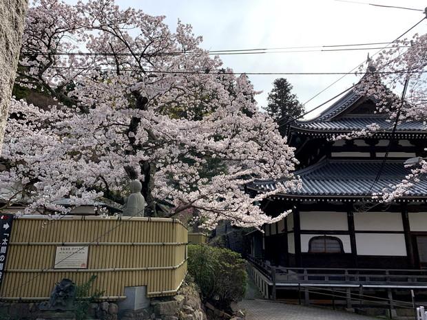 arima-hot-spring-sakura-spots-9
