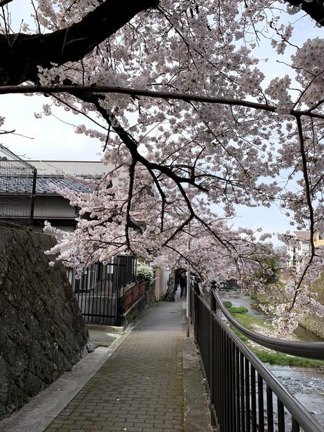 arima-hot-spring-sakura-spots-10