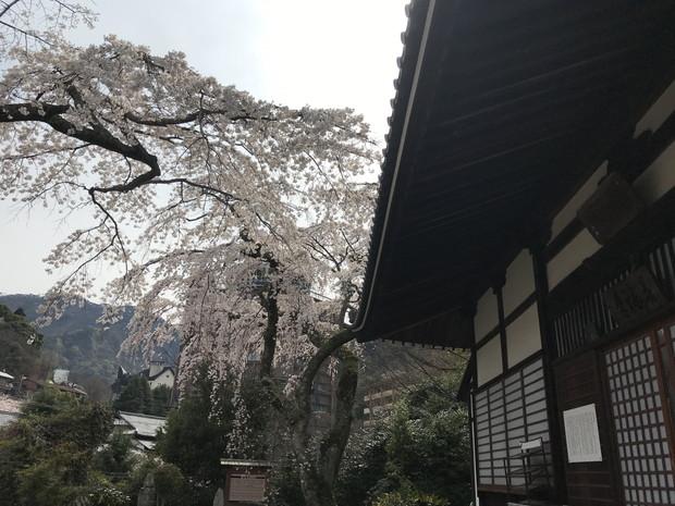 arima-hot-spring-sakura-spots-12
